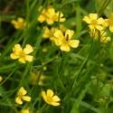 Ranunculus Lingua