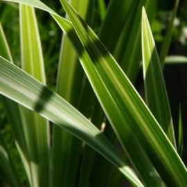 Typha latifolia 'Variegata'