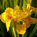 Iris pseudacorus 'Variegato'