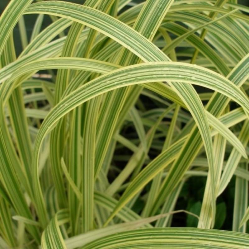 Glyceria maxima 'Variegata'