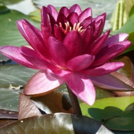Nymphaea Almost Black