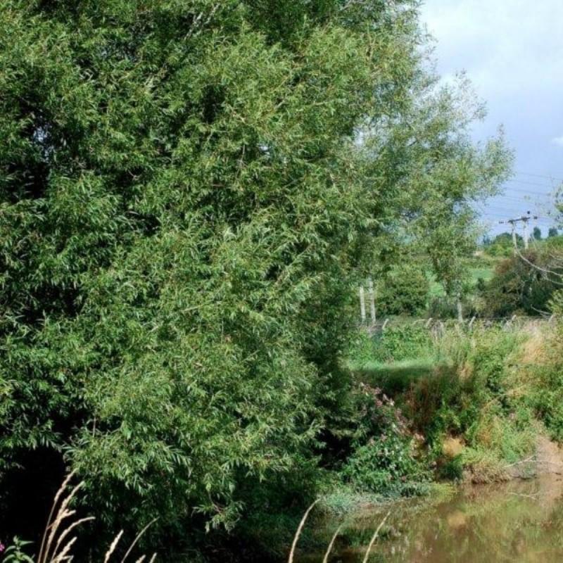 Salix triandra