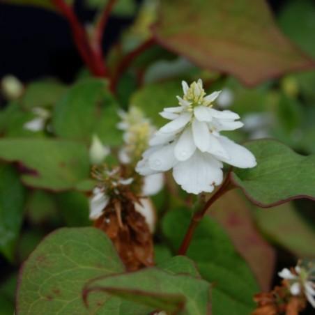 Houttuynia cordata 'Flore Pleno'