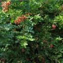 Rosa mariae-graebnerae