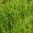 Dulichium arundinaceum