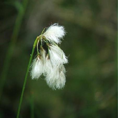 Eriophorum viridi-carinatum
