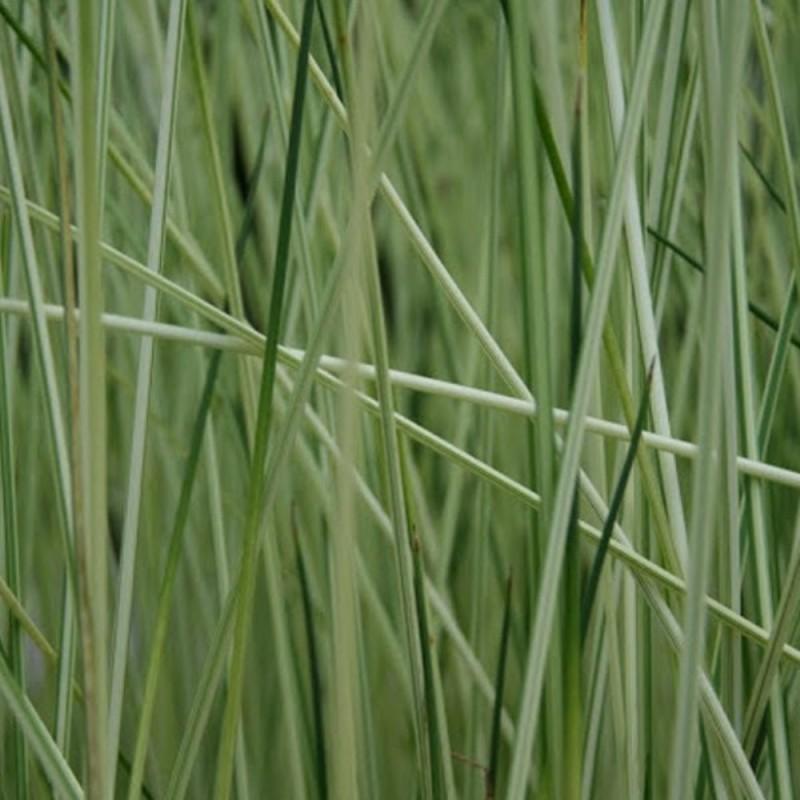 Scirpus albescens