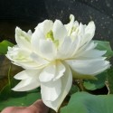 Nelumbo 'Snow White'