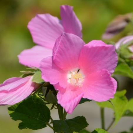 Hibiscus moscheutos subsp. palustris