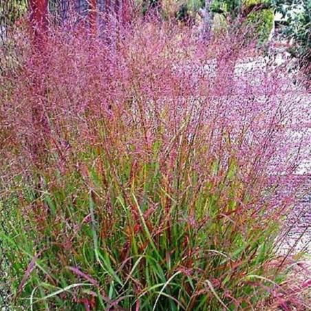 Panicum virgatum 'Kupferhire'