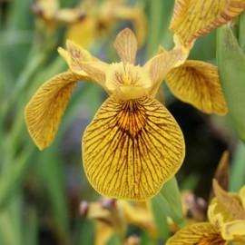 Iris pseudacorus 'Berlin...