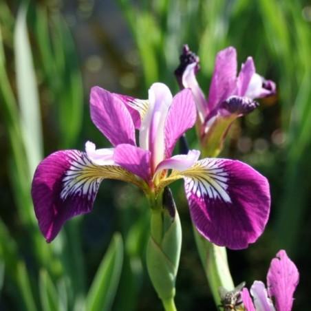 Iris versicolor'Kermesina'