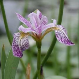 Iris versicolor'Rowden...