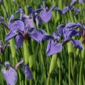 Iris setosa var canadensis 'Nanum'