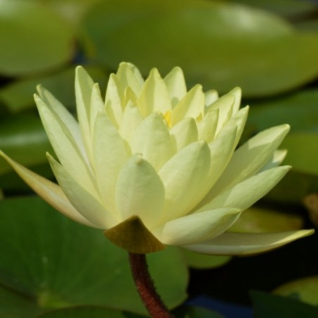 Nymphaea 'Lemon Mist'