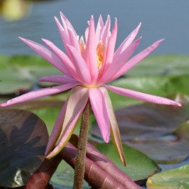 Nymphaea 'American Star'