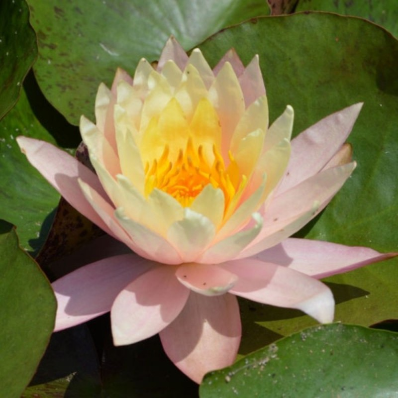 Nymphaea 'Peaches and Cream'