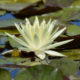 Nymphaea 'Perry's Double White'