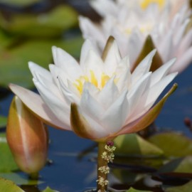 Nymphaea 'Walter Pagels'
