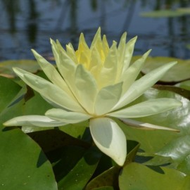 Nymphaea 'Sunrise'