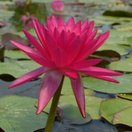 Nymphaea 'James Brydon'