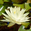 Nymphaea 'Perry's Double Yellow'
