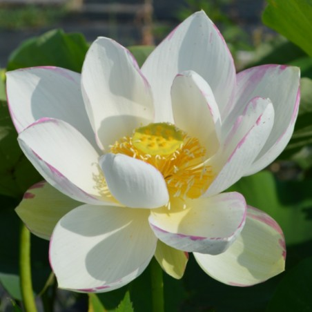 Nelumbo 'Empress' - 'Alba Striata'