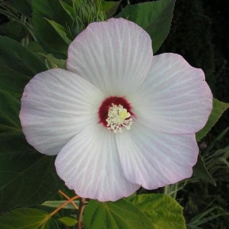 Hibiscus moscheutos 'White'