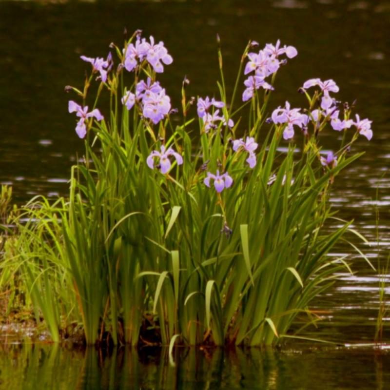 Iris da laghetto