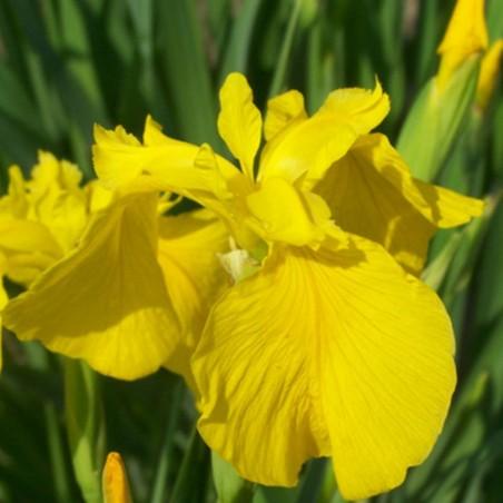 Iris pseudacorus 'Golden Queen'
