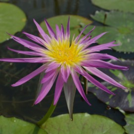 Nymphaea 'Pink Flamingo'