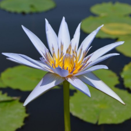 Nymphaea 'Lilac Star'