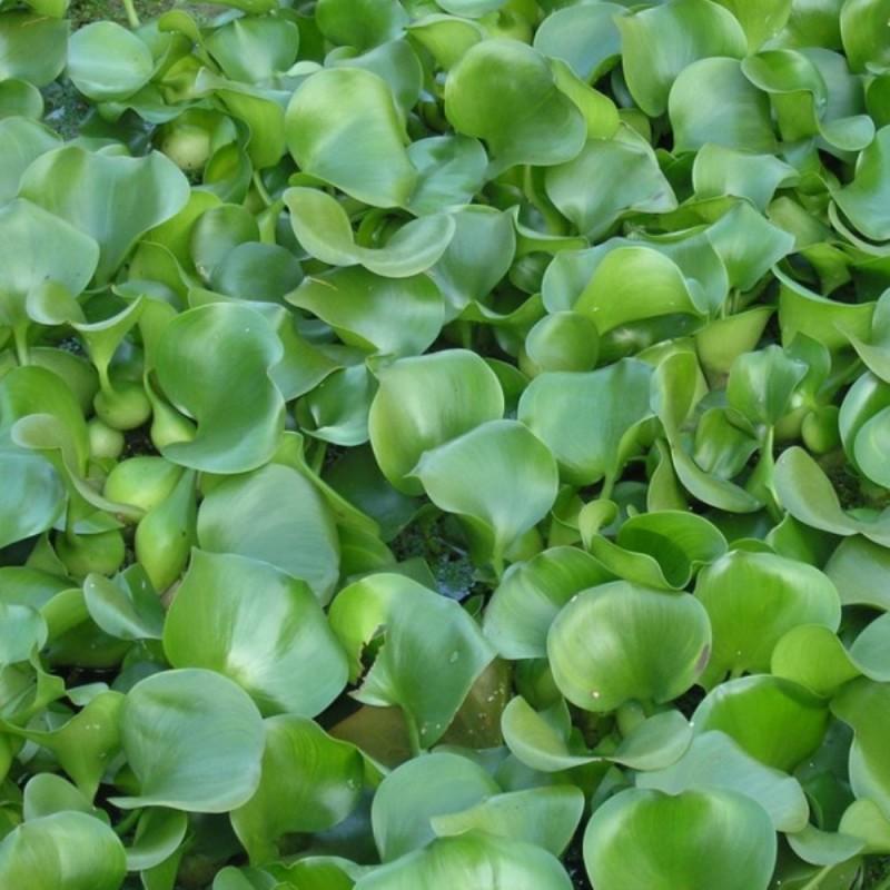 Eichornia crassipes - Giacinto d'acqua