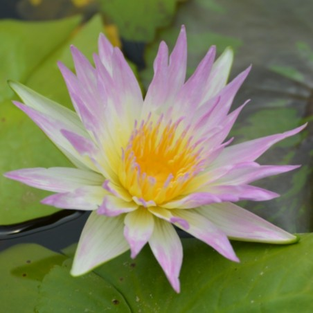 Nymphaea 'Pink Pearl'