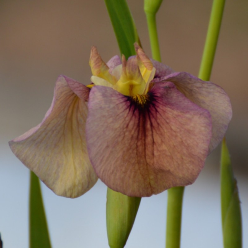 Iris pseudata 'Kinshikou'