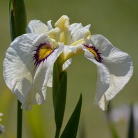 Iris pseudata 'Okagami'