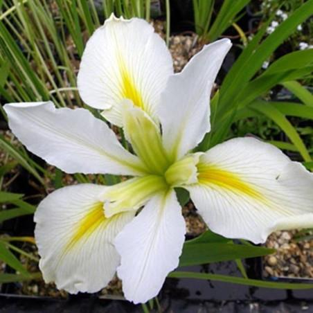 Iris louisiana 'Her Highness'
