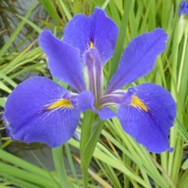 Iris louisiana 'Sinfonietta'