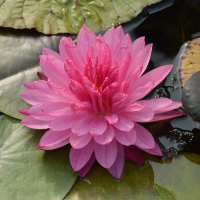Nymphaea 'Pink Pom Pom'