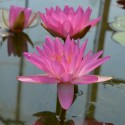 Nymphaea 'Siam Pink 2'