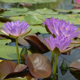 Nymphaea 'Siam Purple 2'