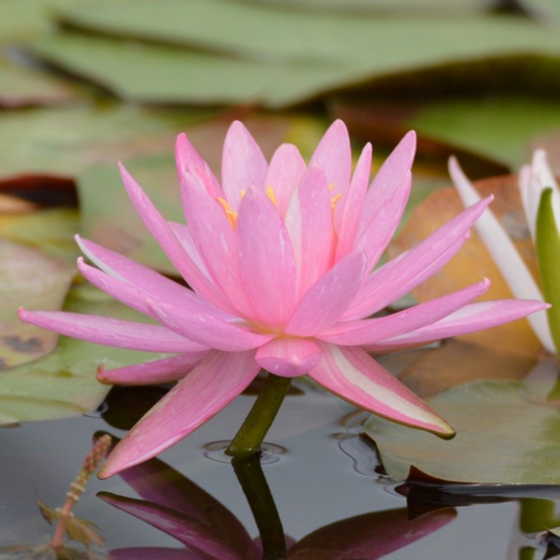 Nymphaea 'Pink Dawn'