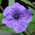 Flower of Ruellia brittoniana