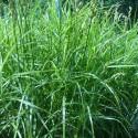 Carex muskingumensis 'Oehme'