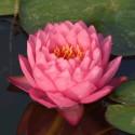 Nymphaea 'Siam Dahlia'