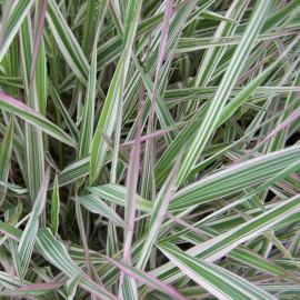 Phalaris arundinacea Tricolor