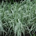 Phalaris arundinacea picta 'Feesey'
