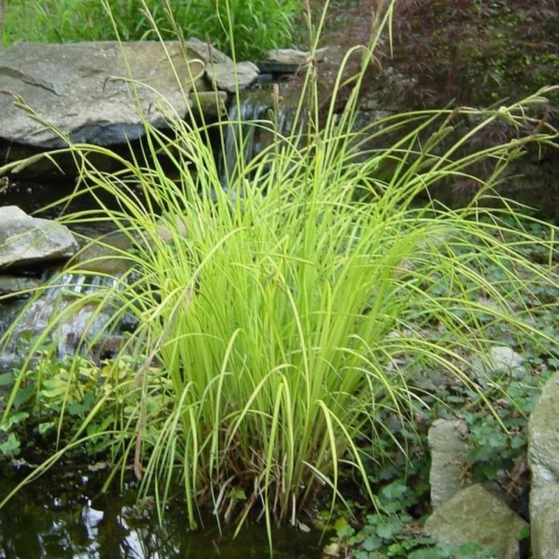 Mix 3 piante palustri