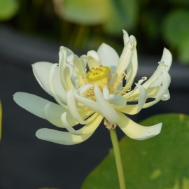 Nelumbo 'Hope'
