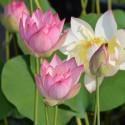 Nelumbo 'New Red Lotus'